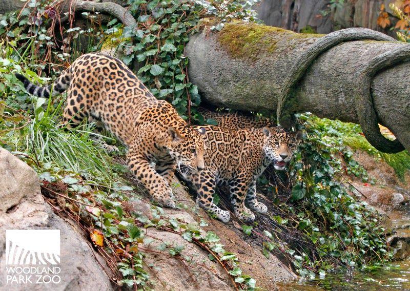 Woodland Park Zoo Blog Jaguar Triplets About To Turn One Woodland Park Zoo Jaguar Zoo Adventure
