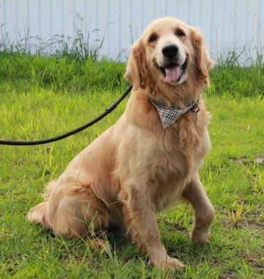 Norcal Golden Retriever Rescue Adoption Info With Images