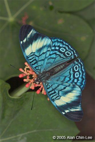 Panacea procilla lysimache, Costa Rica. Florida Museum of Natural History Lepidoptera Image Gallery, Alan Chin-Lee, photographer.