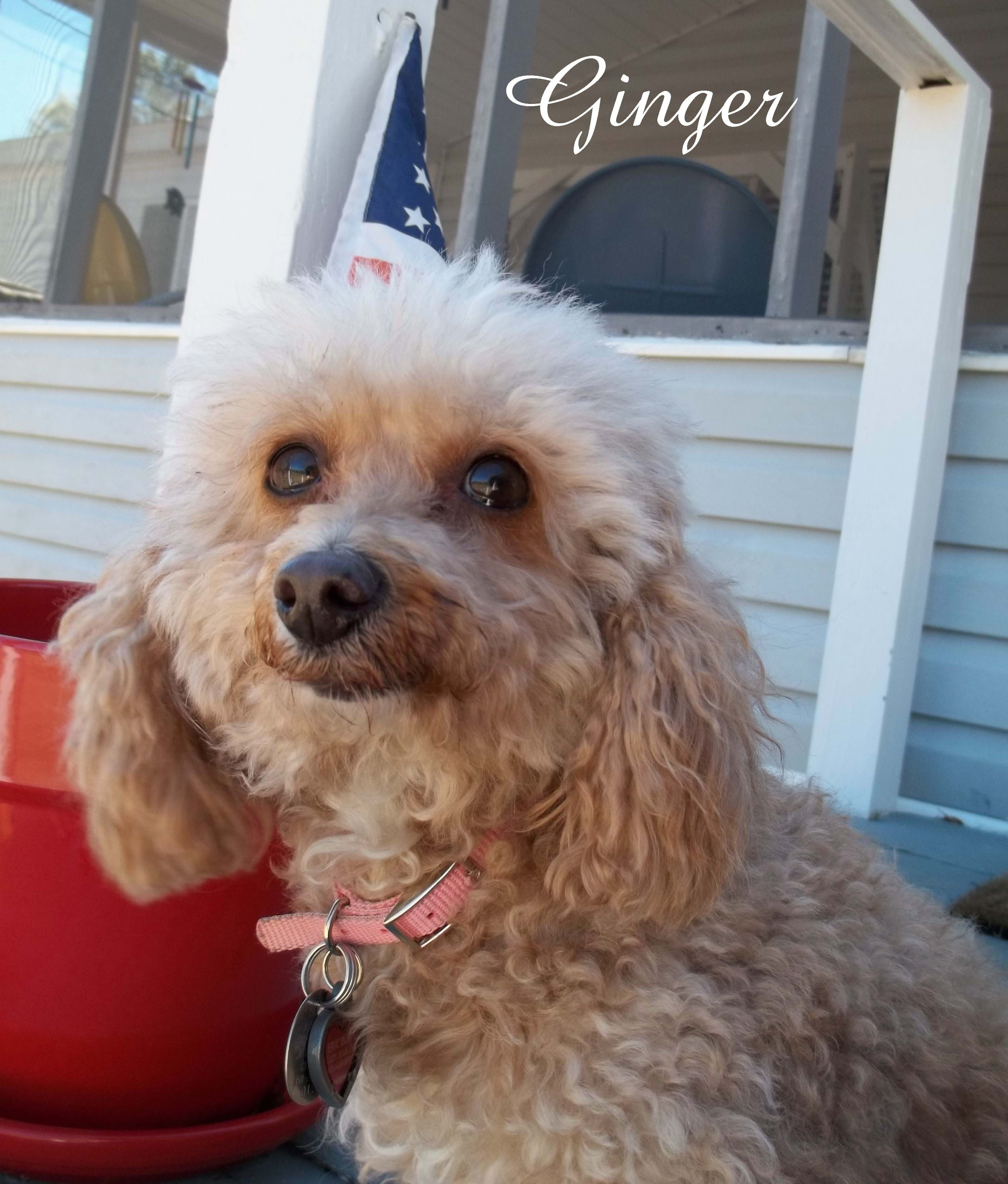 Miniature poodle rescuesweetie poodle rescue