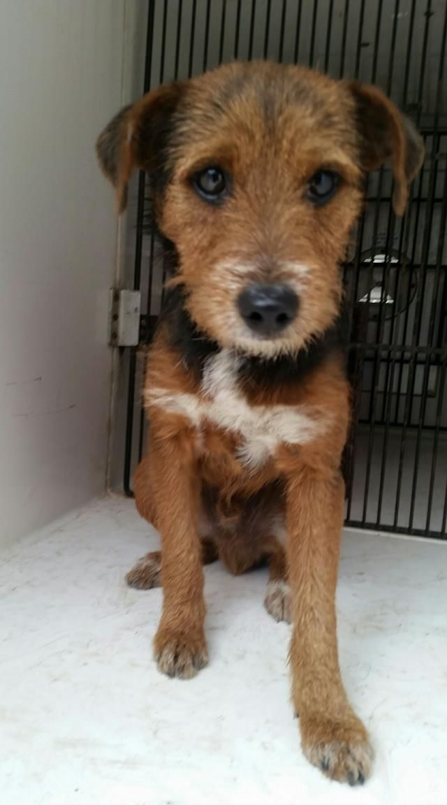 12 03 16 Houston Facility Over Capacity All Animals Are Super Urgent This Dog Id A473367 I Am A Male Brow Puppy Adoption American Wirehair Homeless Pets