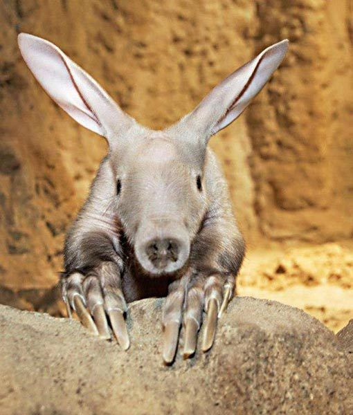 An aardvark baby stares into the camera,