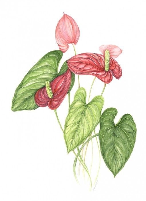 Anthurium Flower Drawing Google Search Pintura Y Dibujo Flores Pintadas Ilustraciones Botanicas