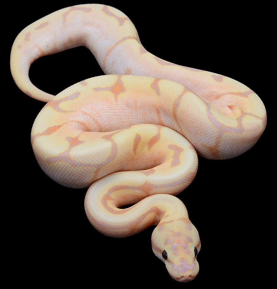 Pythonregius.com-Constrictors Unlimited-Mike Wilbanks-Fire