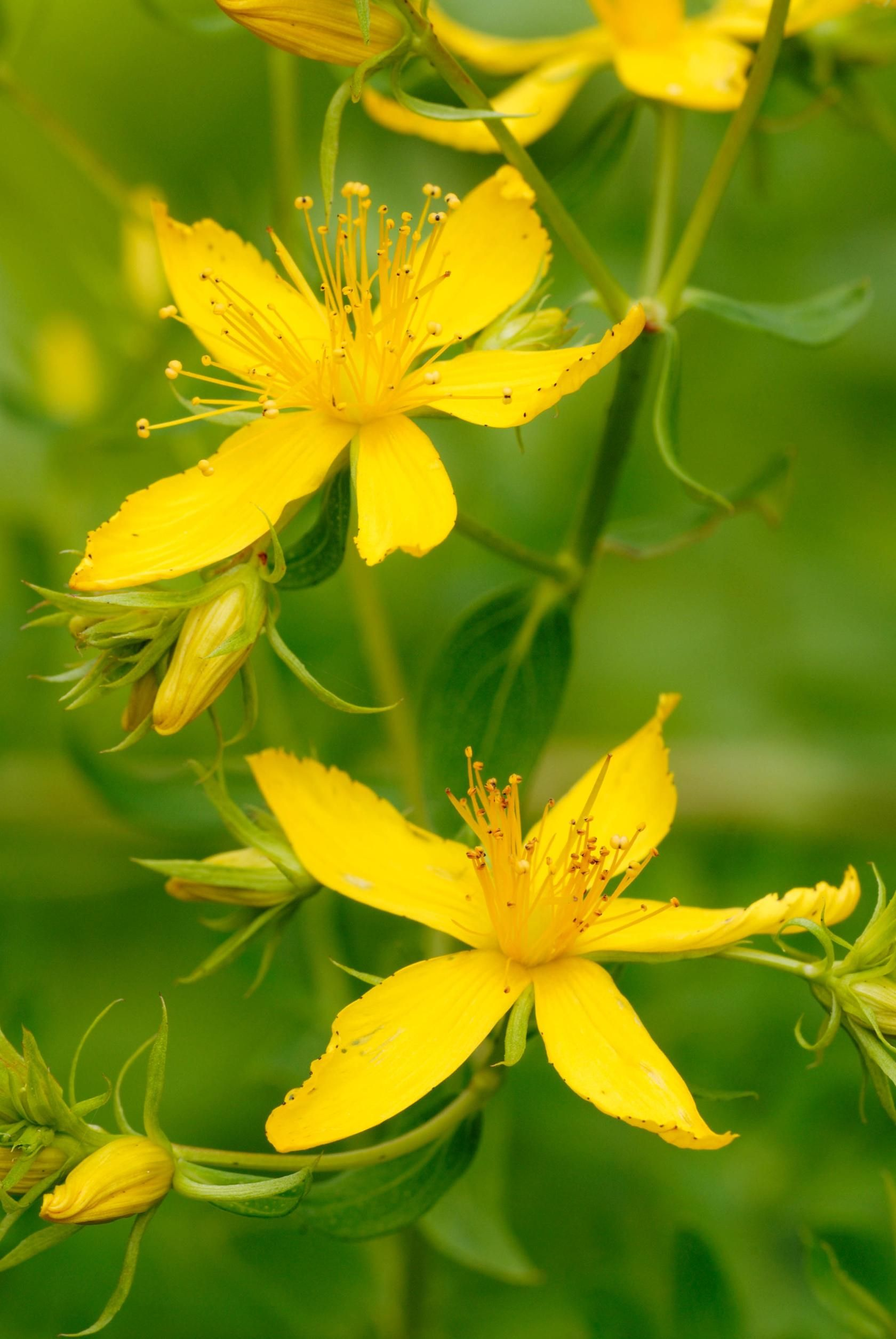 Perforate St Johns Wart Hypericum Perforatum Perennial