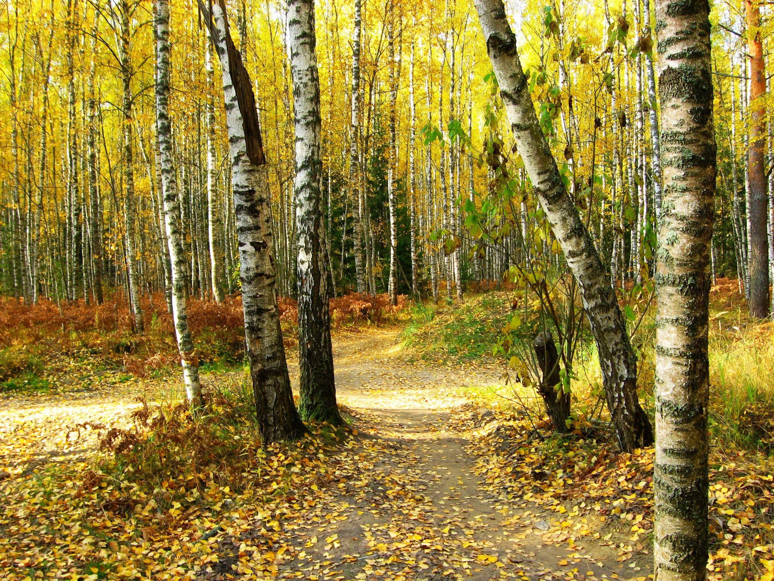 Обои тропа, осень, березы. Пейзажи foto 6
