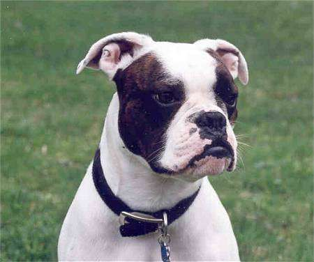 Valley Bulldog Boxer Bulldog Mix Info Temperament Puppies