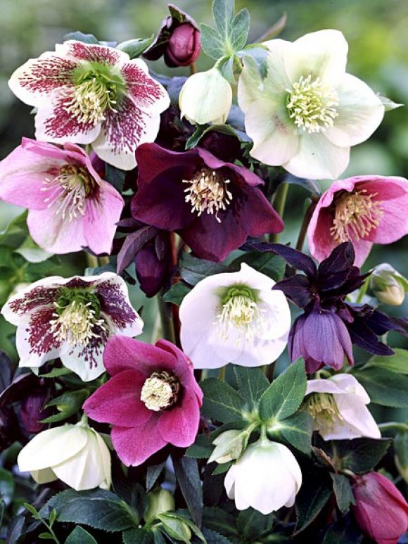 helleborus orientalis 39 lady mix 39 plants gardening pinterest gardens flowers and winter. Black Bedroom Furniture Sets. Home Design Ideas