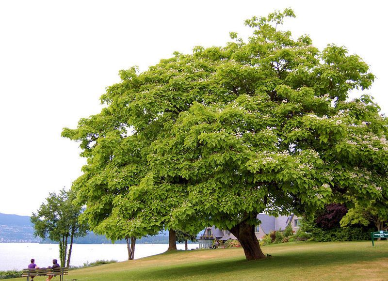 beauteous trees to plant near house. PlantFiles Pictures  Northern Catalpa Western Catawba Indian Cigar Tree Fish Bait speciosa by growin western catalpa Beauteous Pinterest Westerns Plants and
