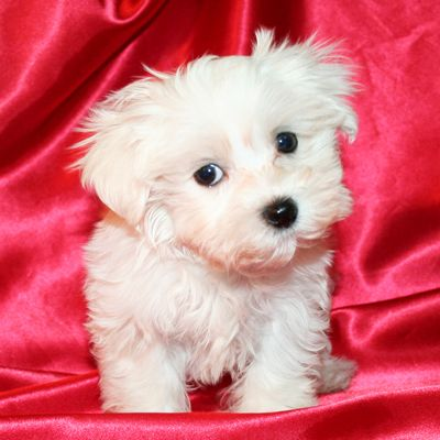 Maltese Puppy For Sale In Cedar Park Tx Adn 43827 On Puppyfinder