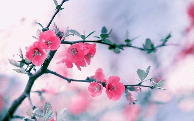 Windows 8 Pink Flowers Wallpapers
