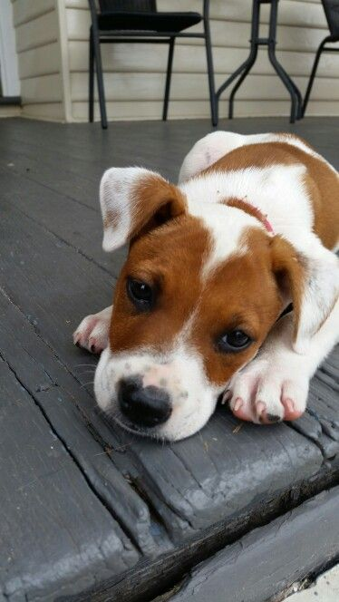 Jack Russell x pups rescued with starting Over Dog Rescue www.startingoverdogrescue.org.au