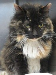 Georgia Urgent Kennel 7 Is An Adoptable Domestic Long Hair Cat