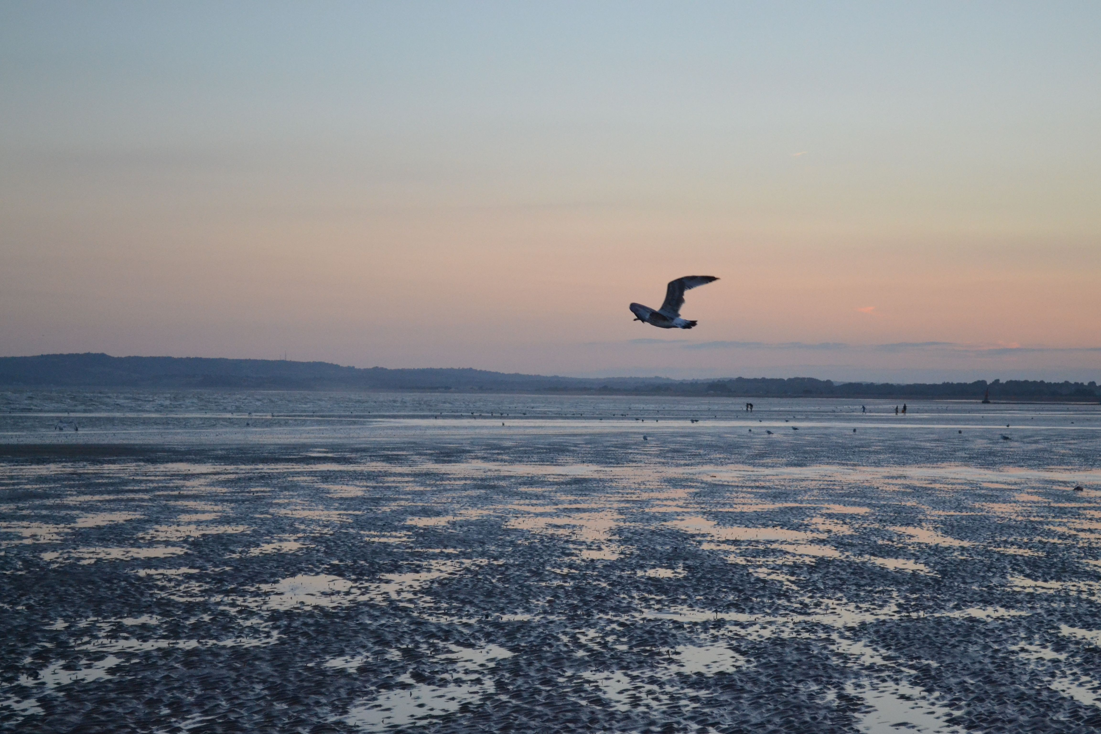 Bird flying above Camber Sands.