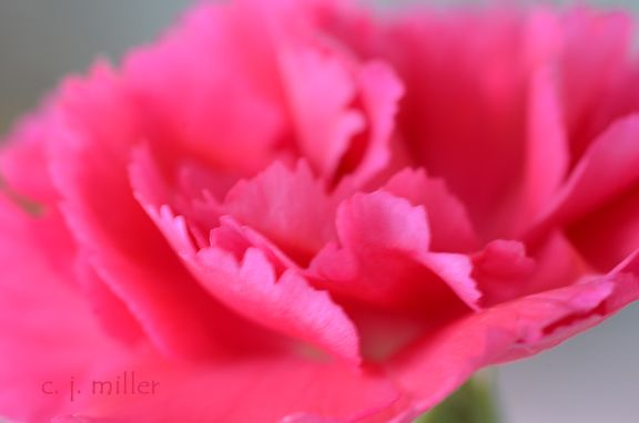 Carnations are not my favorite flower, but they still have their own incredible beauty.