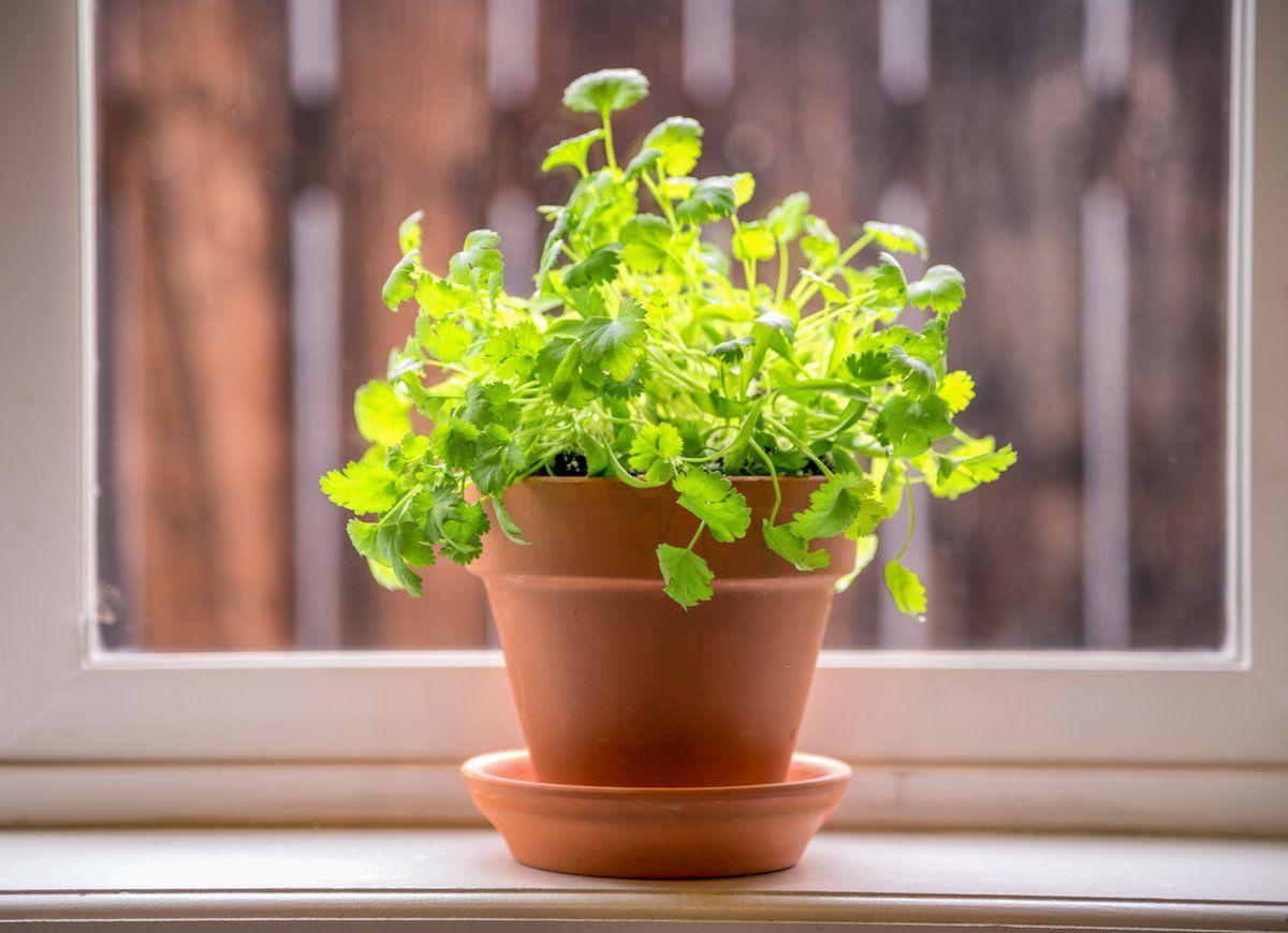 how to grow cilantro indoors in winter