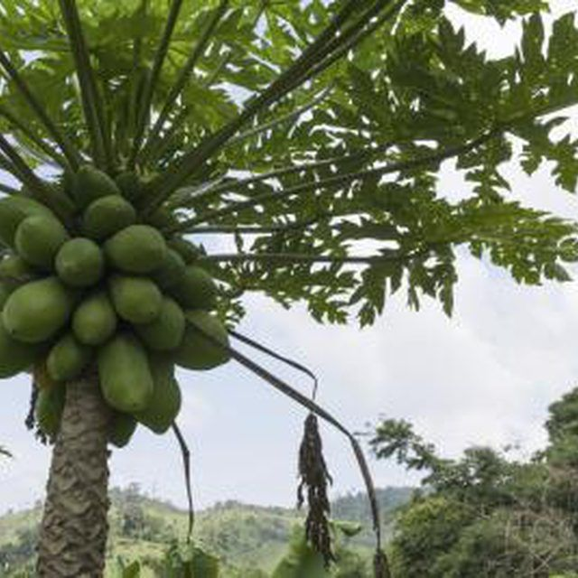 Exceptional Male And Female Fruit Trees Part - 6: Identifying Male U0026 Female Papaya Trees