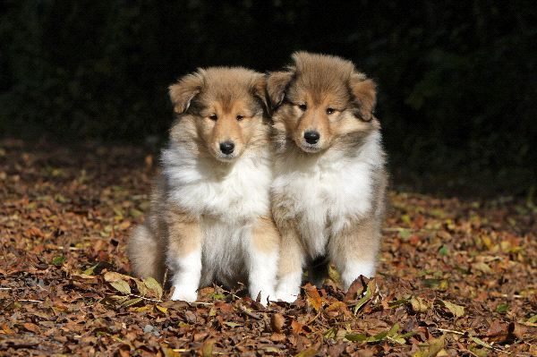 Cute Puppy Collie Puppies Rough Collie