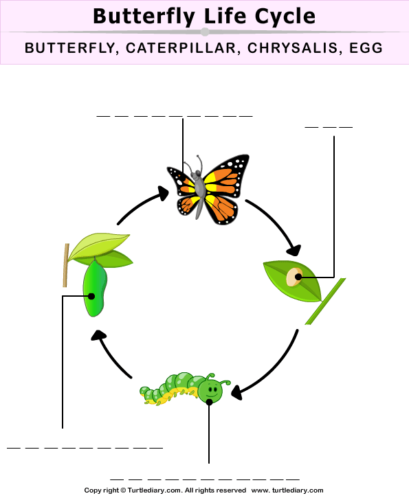Stages Of A Butterfly Worksheet Stages Of A Butterfly Butterfly Life Cycle Butterfly