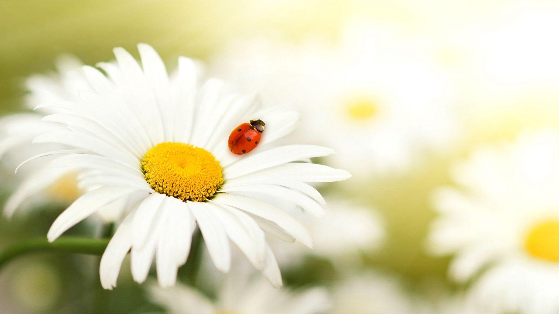 Beautiful Flower Daisy Desktop 4 Wallpaper Hd Hd Quality Wallpapers
