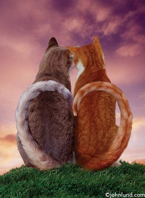 Two Cats Sitting Watching The Sunset Together While A Heart