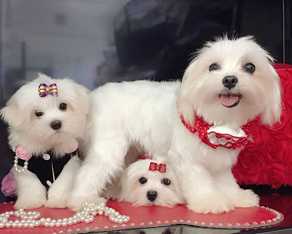 Roma Maltese Mini Toy Vendita Cuccioli Maltese Roma Vai All Annuncio Maltese Dogs Maltese Dogs