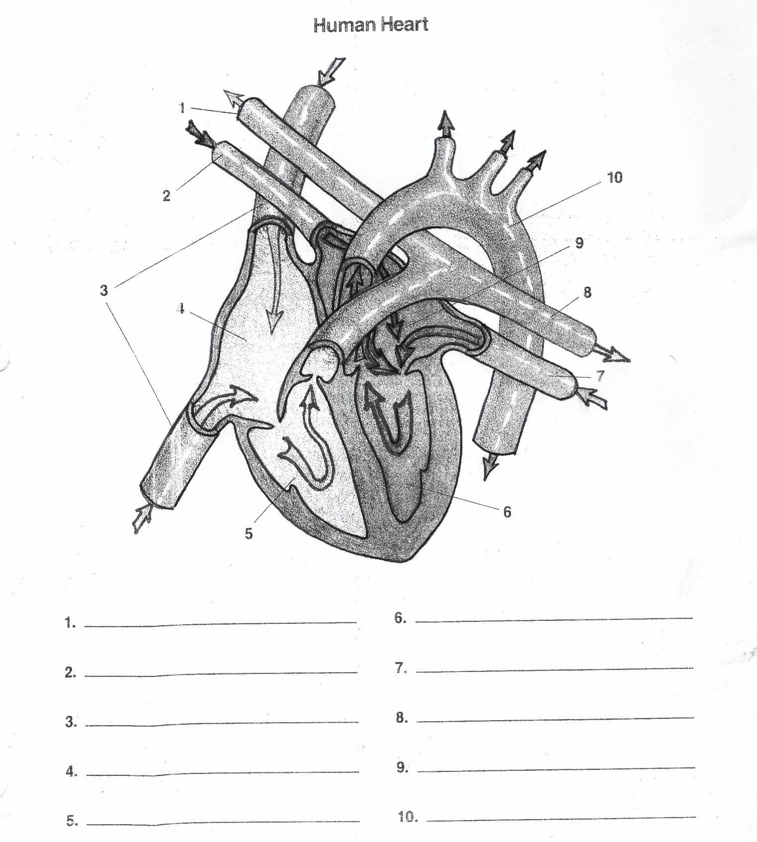 foot muscle blank diagram blank heart diagram | a&p | pinterest