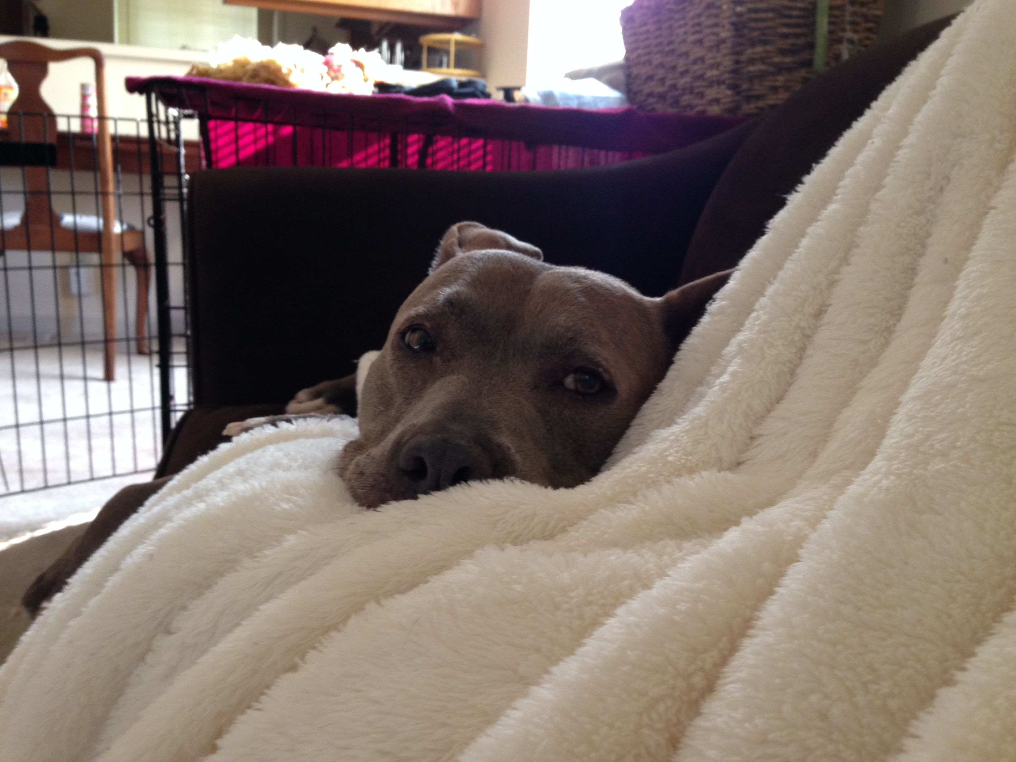 I Had A Little Outpatient Surgery So Nurse Girlie Has Been Taking Care Of Her Mom Nanny Dog Pitbull Owners Pitbulls