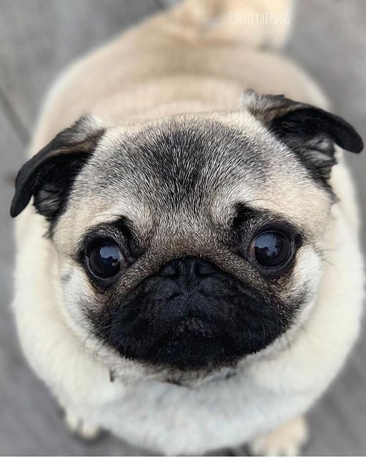 Acquire Terrific Tips On Chinese Pugs They Are Actually Offered