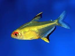Lemon Tetra Tropical Fish Aquarium Fish Tropical Fish Tanks