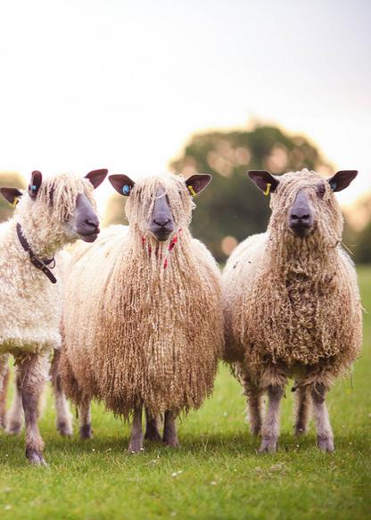Dreads On The Sheep Med Billeder