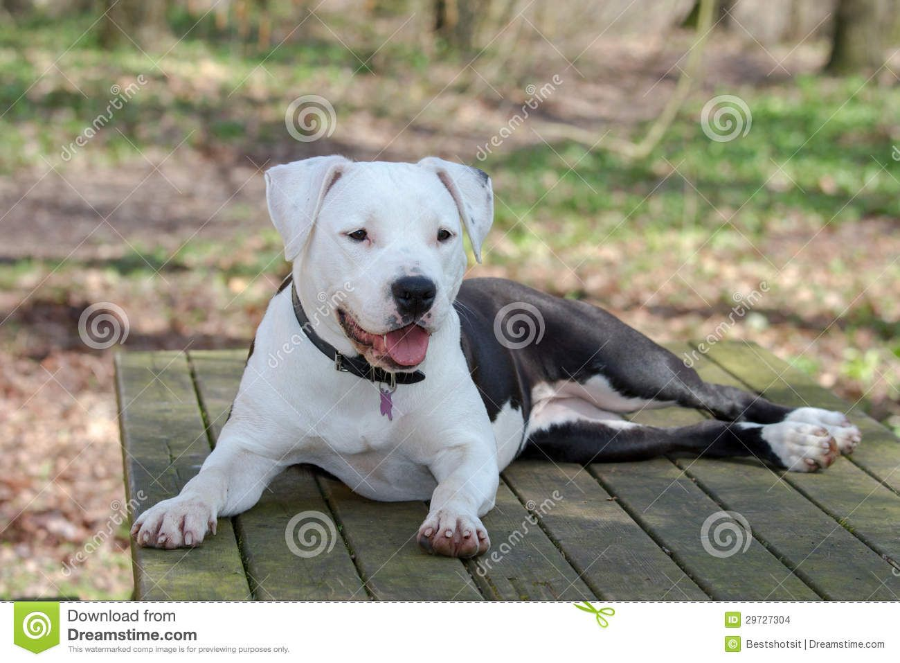 White American Staffordshire Terrier With Images American