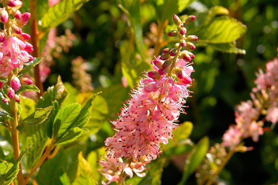 Clethra alnifolia Ruby Spice Hummingbird garden