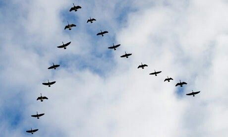 8. Geese flying home