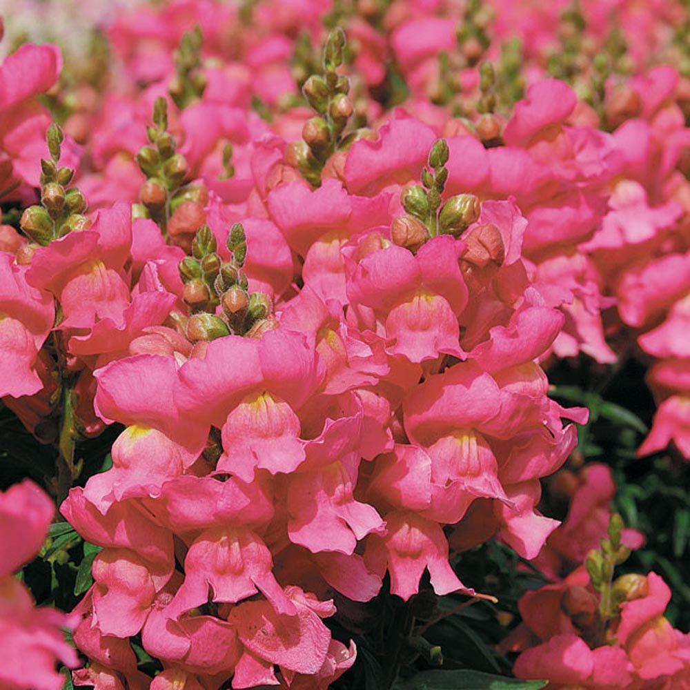 Pelleted Snapdragon Seeds Montego Pink Flower seeds