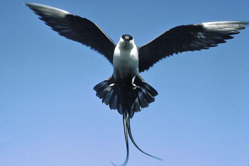 Long Tailed Jaeger A Sea Bird Similar To A Seagull But Flies