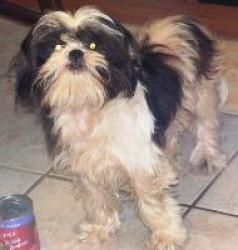 Laurel Is An Adoptable Shih Tzu Dog In Elizabethton Tn Shih Tzu Dog Animal Rescue Shih Tzu