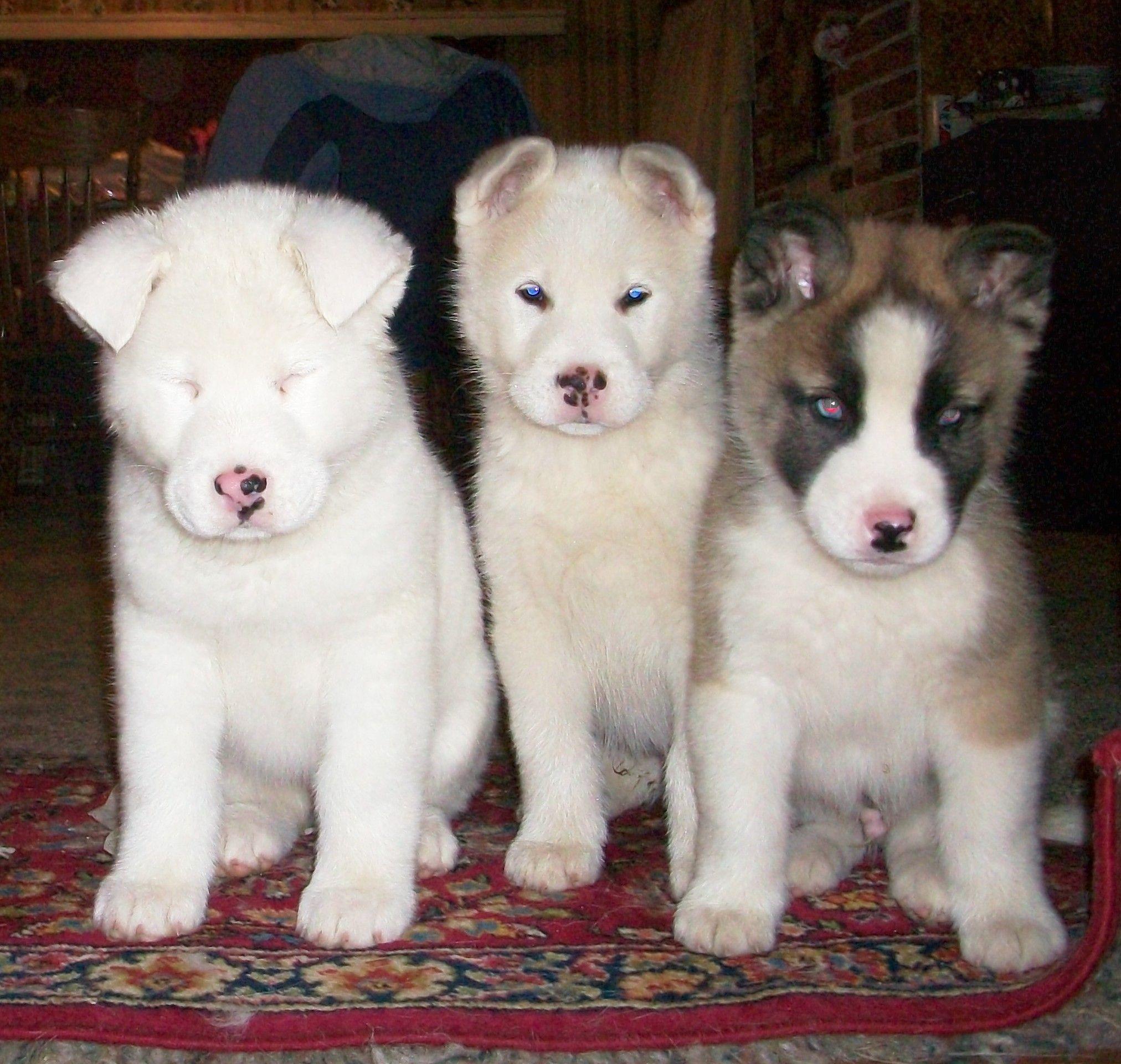 Huskita Puppies Husky Akita Puppies And Kitties Puppies Dogs