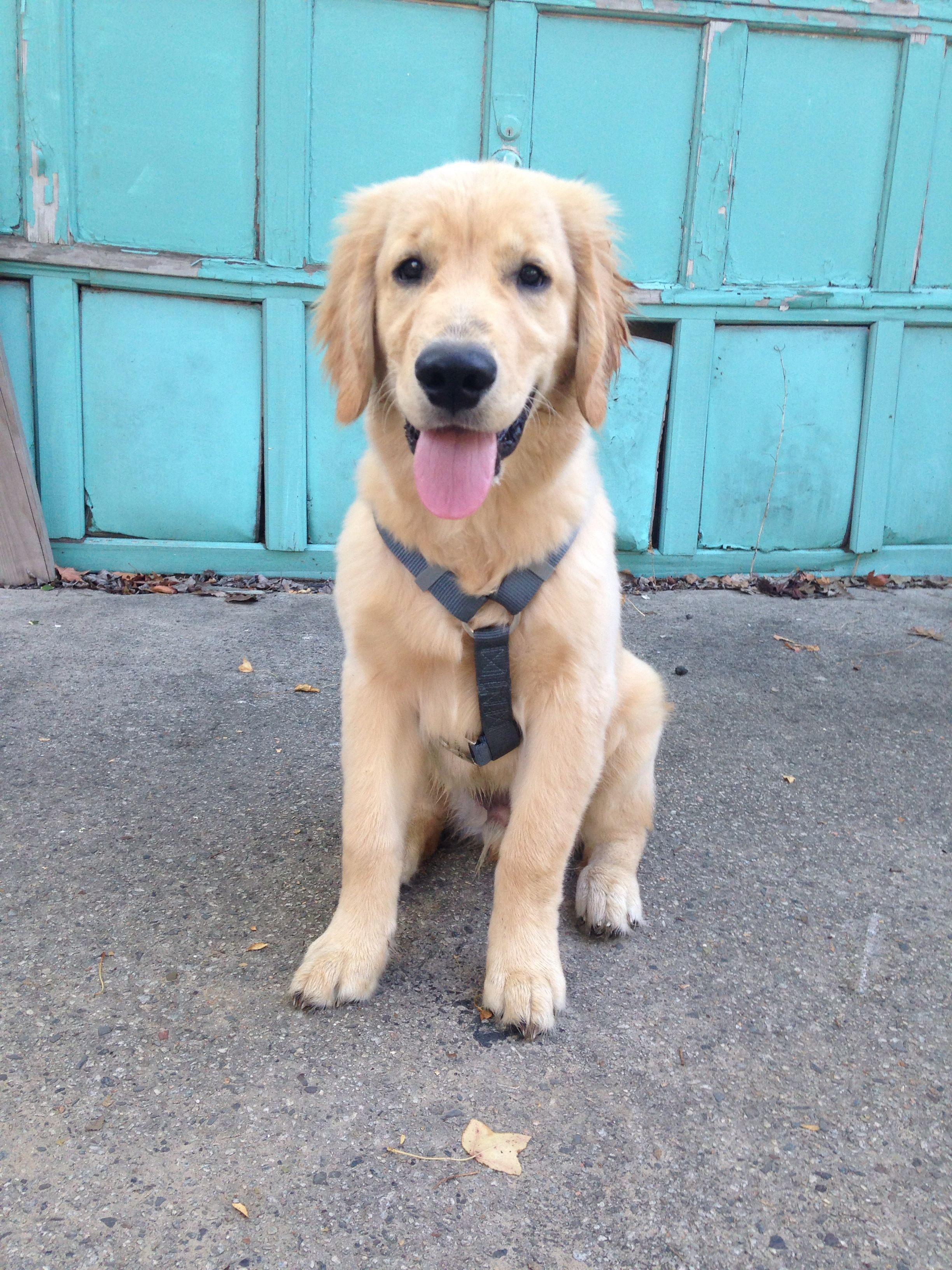 Puppy Golden Retriever 4 Months Oliver New Orleans Golden Retriever Best Dogs For Families Buy A Dog