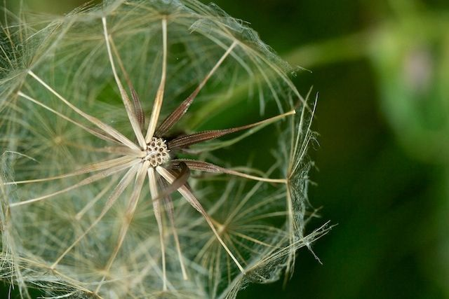 the humble dandelion. It's something we walk by every day but we fail to notice the beauty in the detail of these intricate little things