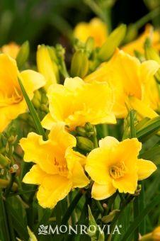 Dwarf Daylily Day Lilies Monrovia Plants Plant Catalogs