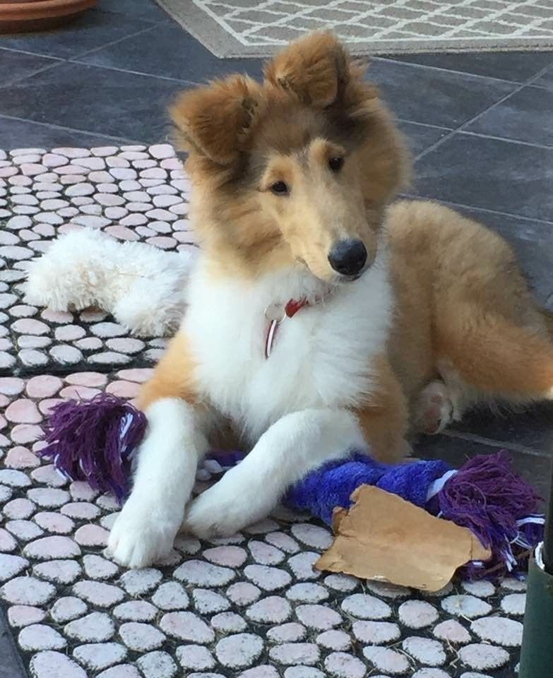 Smooth collie puppies for sale in ohio