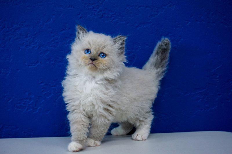 Ragdoll Kittens For Sale Near Me Buy Ragdoll Kitten Ragdoll Kitten Ragdoll Kittens For Sale Kitten For Sale