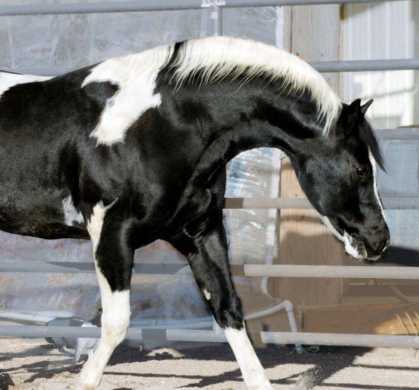 Kid Stetson Black Paint Stallion | Horses | Pinterest | Gypsy ...