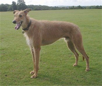 A Tall Brown Dog Standing Out In A Field Of Grass With Its Mounth