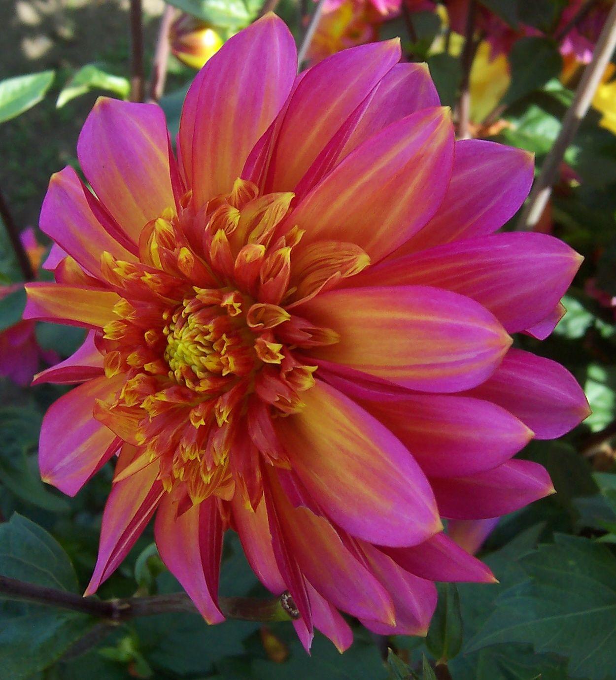 Dahlia Wannabe Dahlia Flower Amazing Flowers Planting Flowers