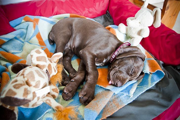 How much sleep do puppies need heres how to make sure