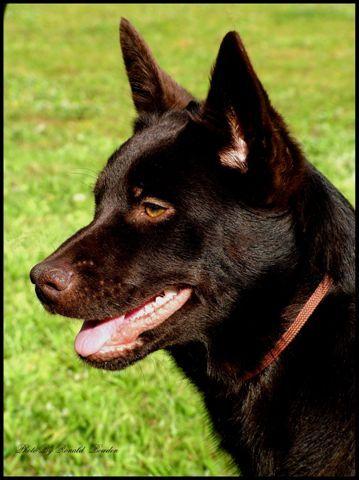 Australian Kelpie Jpg Australian Kelpie Dog Australian Kelpie Aussie Dogs