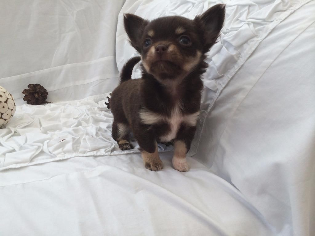 1 Beautiful Long Haired Dlvc Registered Chihuahua Puppies