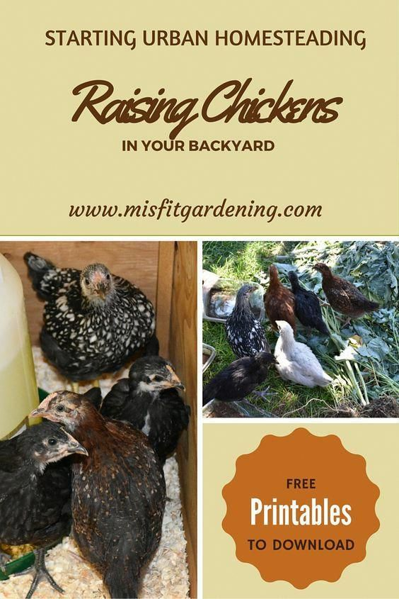 Starting urban homesteading by raising chickens in your ...